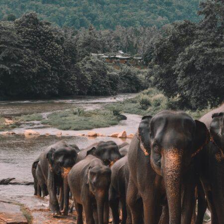 Elephant herd walking in Sri Lanka