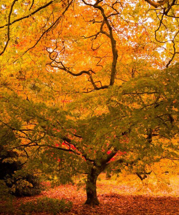 autumn colour tree at westonbirt
