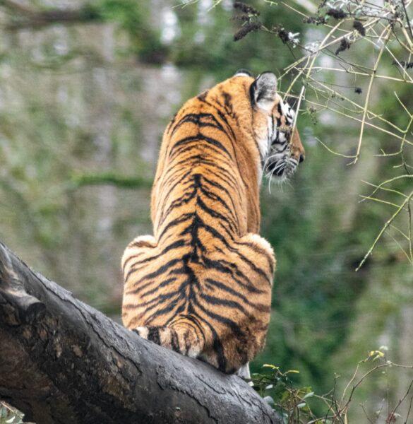tiger sitting on a tree