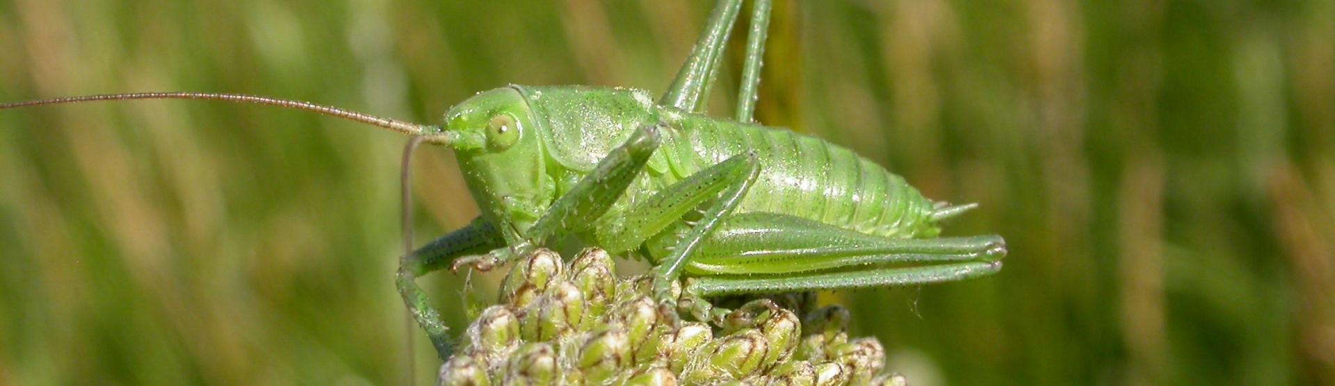 Great_green_bush_Cricket